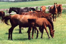 Mares & Foals at Copgrove June 95. Click for a larger image