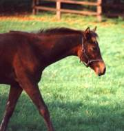 Weanling at Copgrove, October 92. Click for a larger image