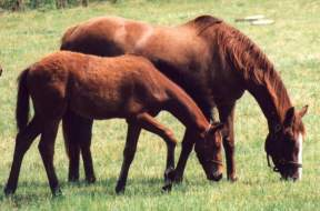 Mare & Foal at Copgrove, June 95. Click for a larger image