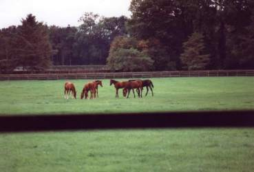 Yearlings at Thornton, Sept 94. Click for larger image